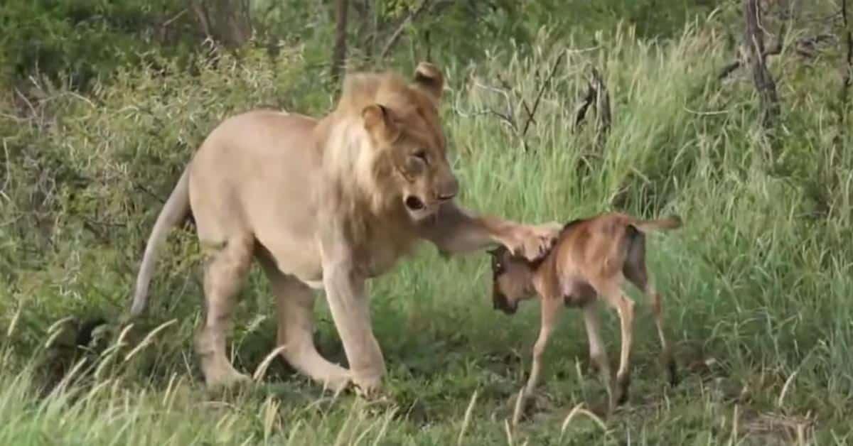 Avuliaat eläimet auttamassa toisiansa