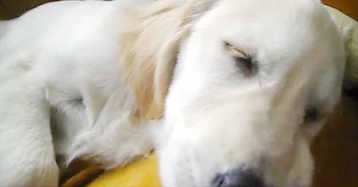 Koira nukkuu, kun isäntä alkaa soittamaan huuliharppua – katso videolta koiran reaktio!