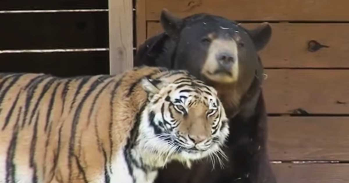 Kumpi Voittaa Karhu Vai Leijona