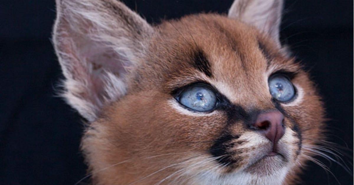 Nyt se löytyi: Maailman söpöin kissarotu