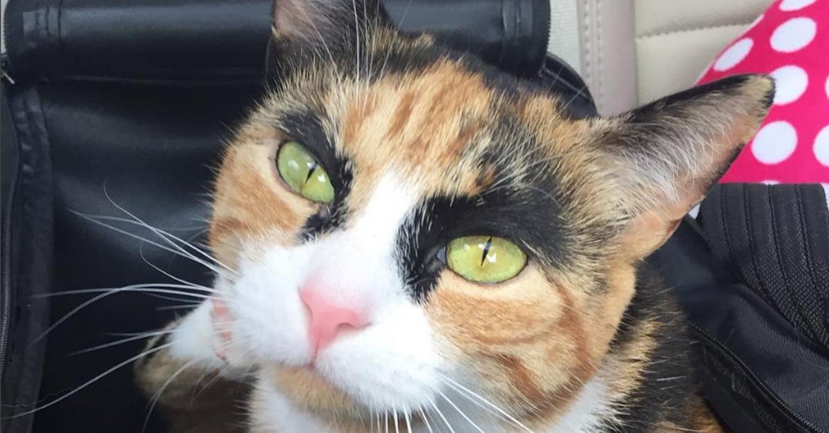Tällä kissalla on hullut kulmakarvat ja tuomitseva katse