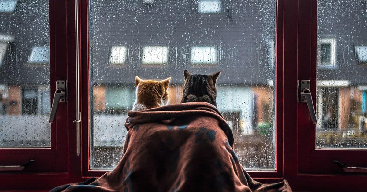 Hellyyttävä kuvasarja: Kissakaverukset tykkäävät katsella sadetta viltin alla