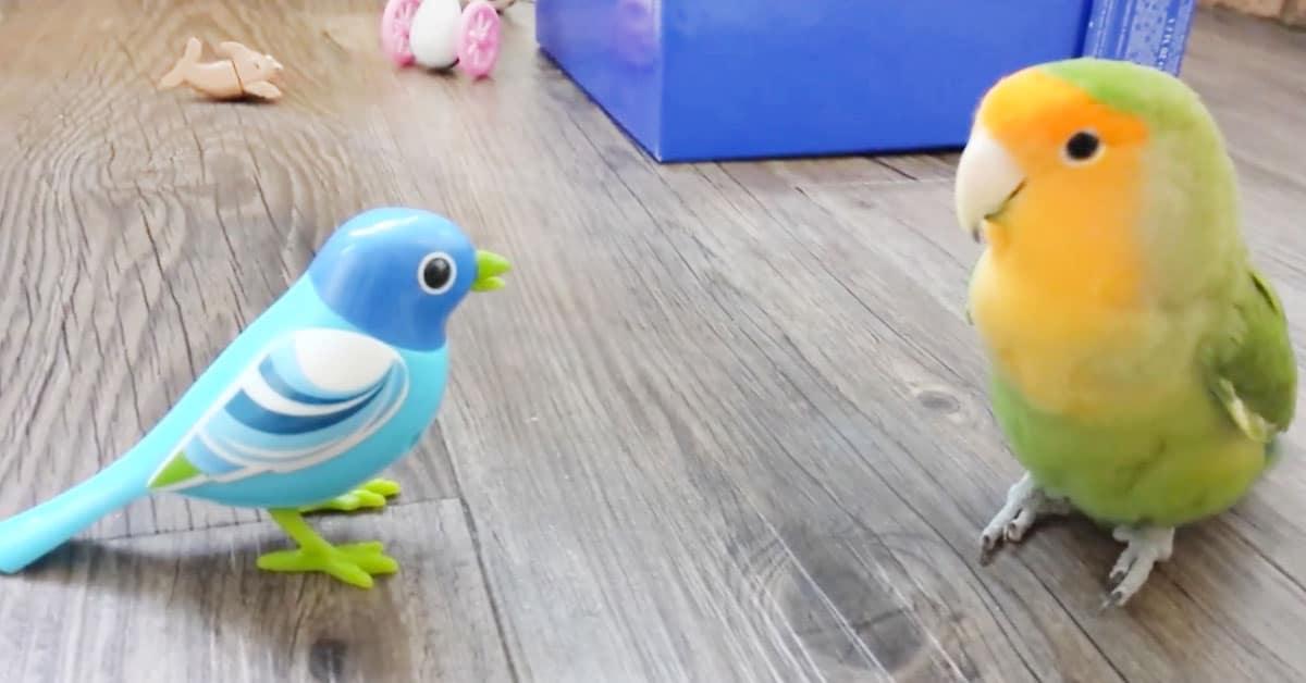 Kiinnostunut papukaija tekee tuttavuutta mekaanisen linnun kanssa