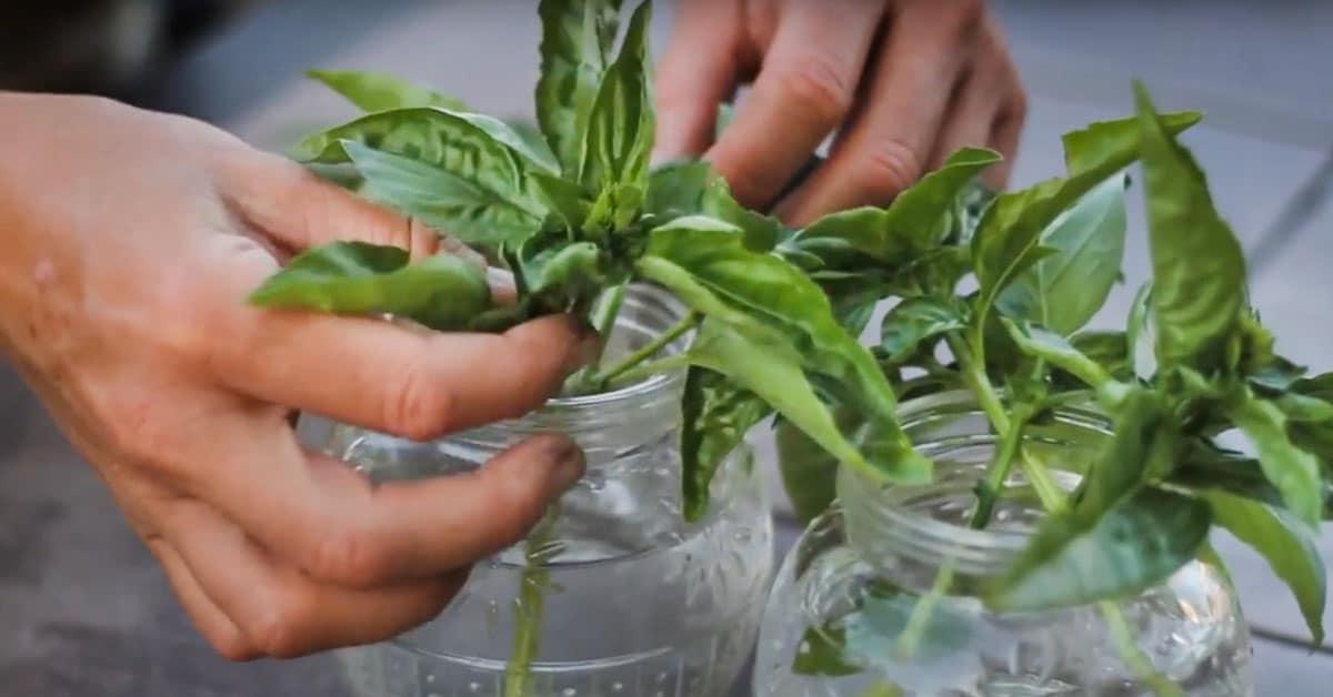 Loputon basilikasato yhdestä kaupan taimesta!