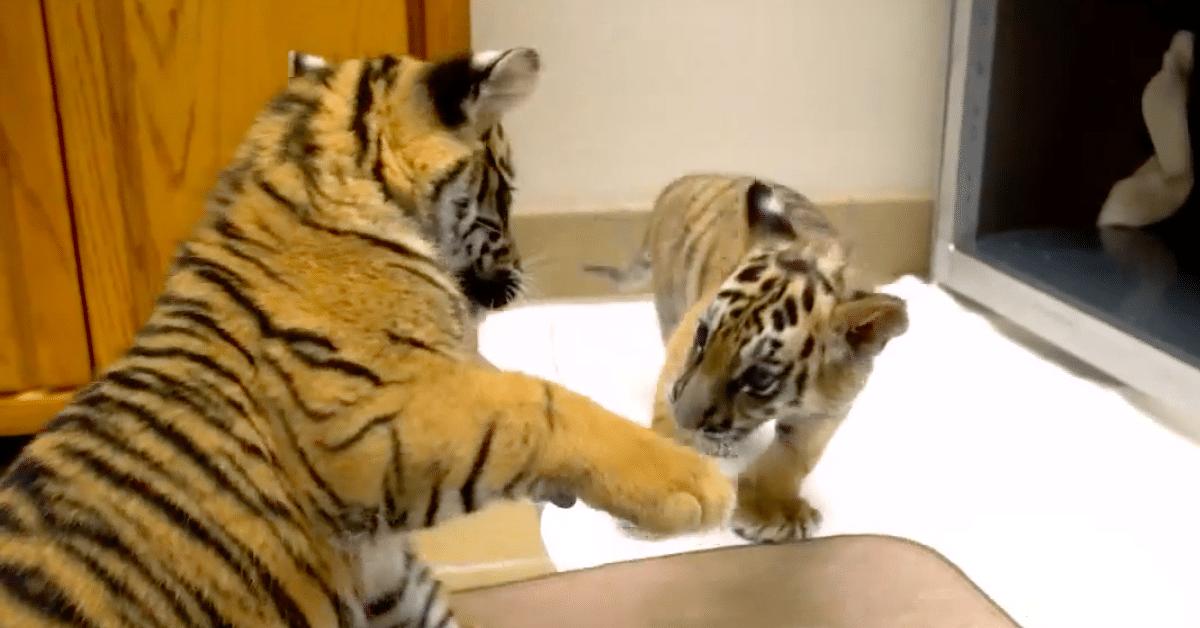 Emonsa hylkäämä tiikerinpentu saa uuden ystävän