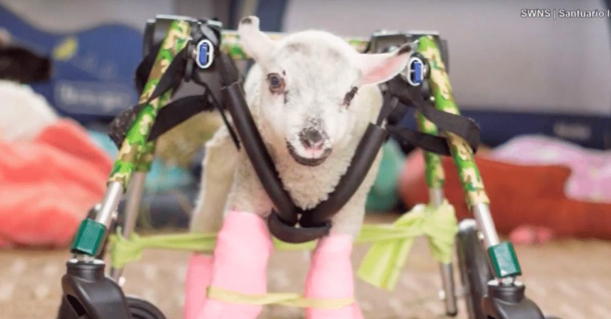 Vammautunut lammas oppii liikkumaan pyörätuolin avulla