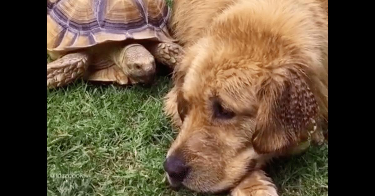 Erikoinen parivaljakko – koira ja kilpikonna ovat parhaat ystävät