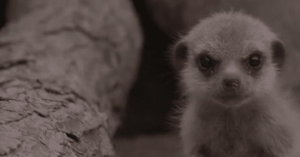 Nämä vastasyntyneet mangustit pelastavat päiväsi!