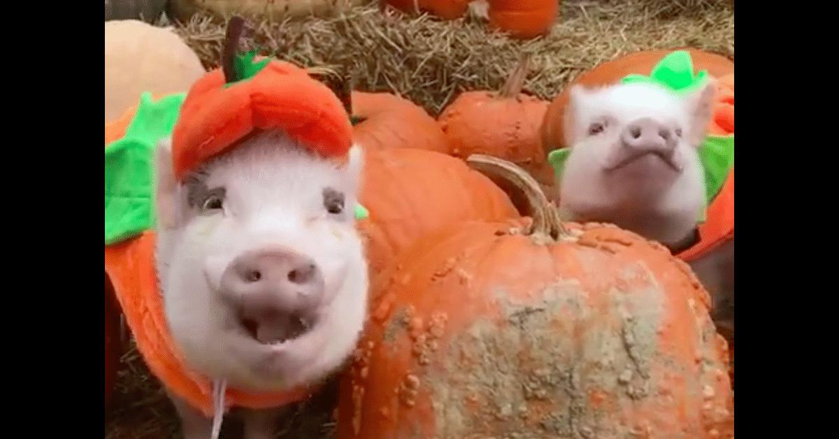 Nämä possut halloweenasuissa pelastavat päiväsi!