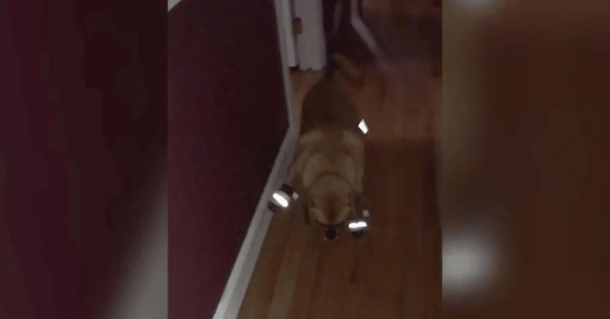 Koira yrittää kävellä uusilla tossuillaan