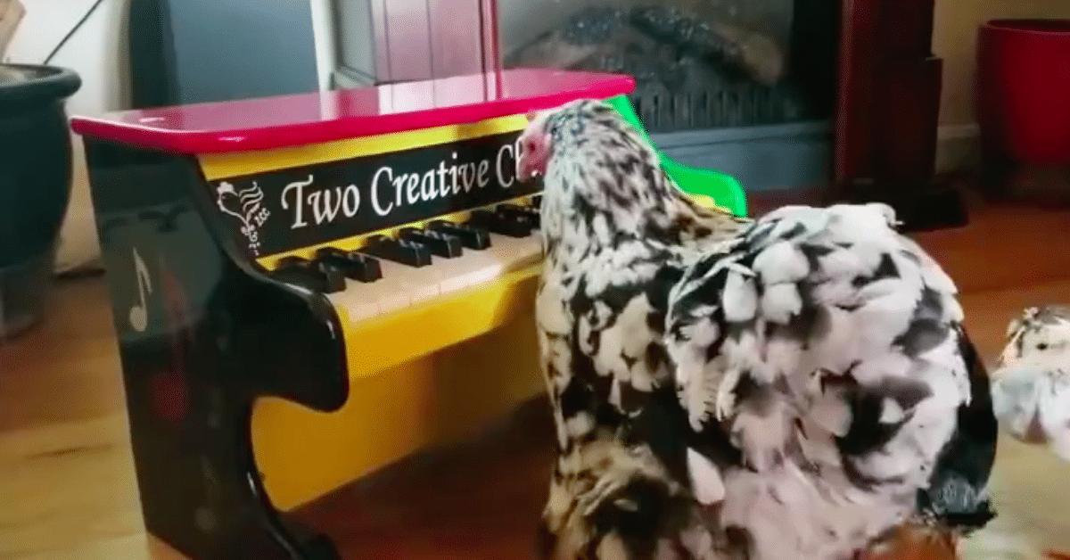Pianoa soittava kana – ennennäkemätön lahjakkuus?