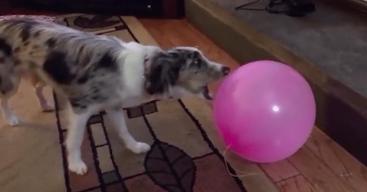 Säikyt koirat, jotka eivät paljoa vaadi pelästyäkseen