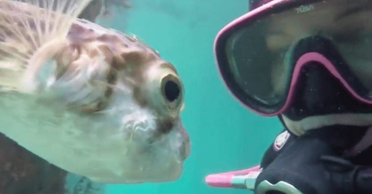 Sukeltaja tekee tuttavuutta pallokalan kanssa – upea sukellusvideo