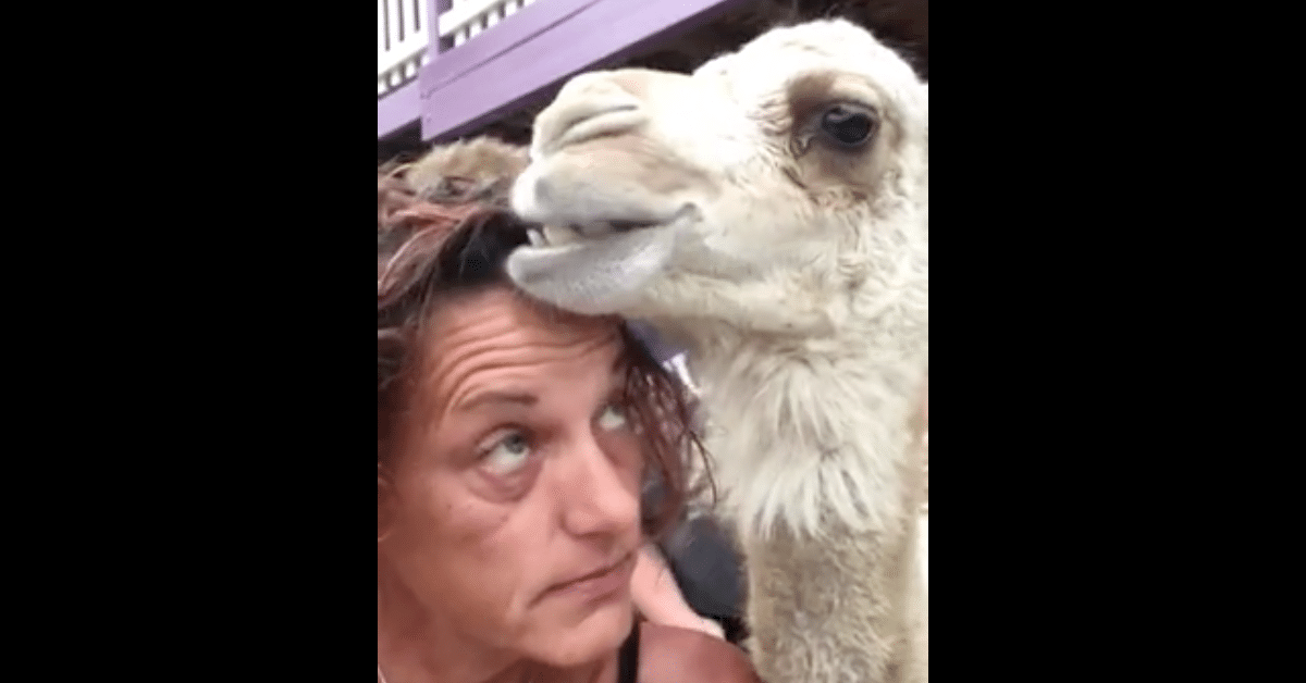 Kamelilla on erikoinen harrastus – syö omistajansa hiuksia