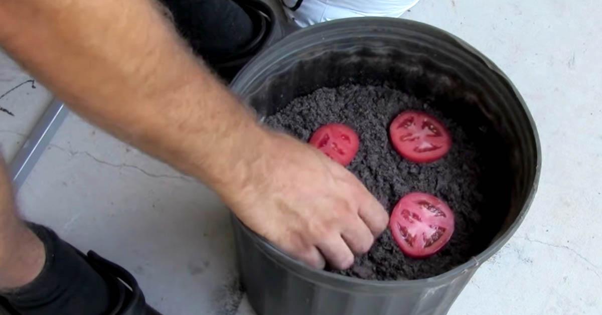 Laita tomaattiviipaleet mullan alle tähän tapaan ja nauti kesällä omasta tomaattisadostasi
