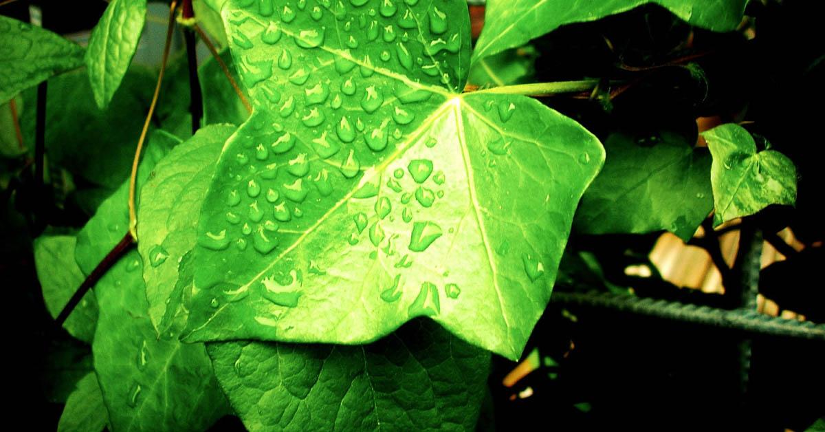 Tämä huonekasvi puhdistaa kotisi huoneilman – käyttää epäpuhtauksia ruokanaan